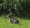 Rabbit side view.JPG