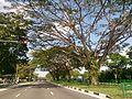 Rain tree by the roadside.jpg