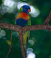 Rainbow Lorikeet (Trichoglossus moluccanus) (9935218166).jpg