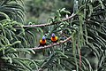 Rainbow Lorikeet pair - panoramio.jpg