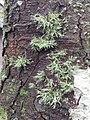 Ramalina farinacea 107160903.jpg