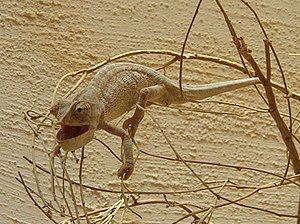 Prehensile tail -  Mediterranean chameleon using its prehensile tail