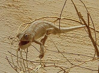 Prehensile tail - Mediterranean chameleon using its prehensile tail