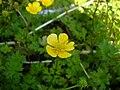 Ranunculus flowers 8.jpg