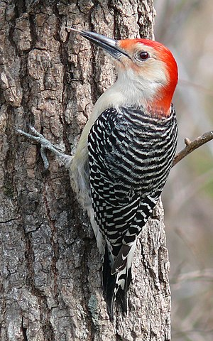 A male Red-bellied Woodpecker (Melanerpes caro...