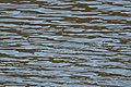 Red-necked Phalarope Rodeo Lagoon Marin CA 2018-09-20 11-44-59 (45644755822).jpg