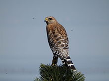 Red-shouldered hawk, near California coast.JPG