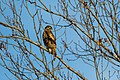 Red-shouldered hawk (25525876518).jpg