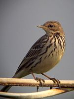 Red-throated Pipit (Anthus cervinus).jpg