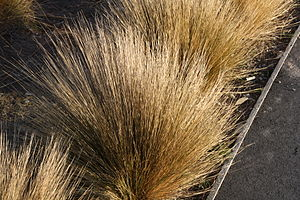 Chionochloa rubra - Image: Red tussock grass lake tekapo new zealand september 2011