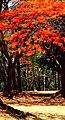 Red Flowers in Bloom, Biligirirangana Hills.jpg