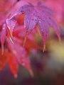 Red Maple Leaves.jpg