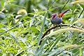 Red browed finch Ravenshoe (16326916286).jpg