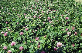 Red clover field.jpg