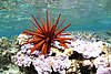 Red pencil urchin - Papahānaumokuākea.jpg