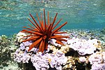 Red pencil urchin submerged in shallow, glassy water, on a bed of coral