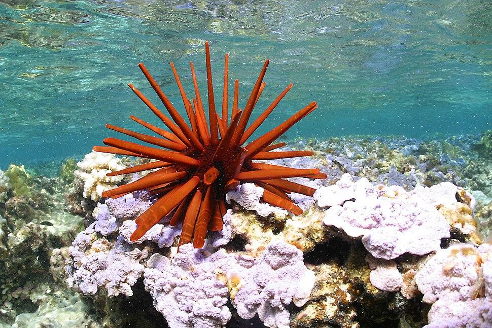 Red pencil urchin - Papahānaumokuākea
