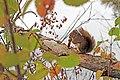 Red squirrel at Seney National Wildlife Refuge (15229357429).jpg