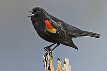 A black bird with red and yellow on the wings sits on top of a post