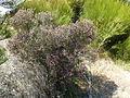 Regelia cymbifolia (habit).JPG