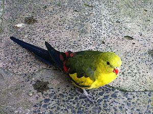 Regent parrot - Male at Symbio Wildlife Park, Australia