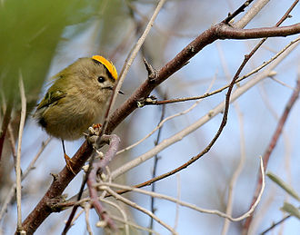 Goldcrest - Male in France displaying orange crest feathers that are set within a narrow rim of yellow feathers