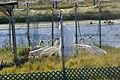 Reintroduction at Chassahowitzka National Wildlife Refuge (6923642975).jpg
