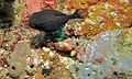 Reticulate Boxfish (Ostracion solorensis) male (8480801535).jpg