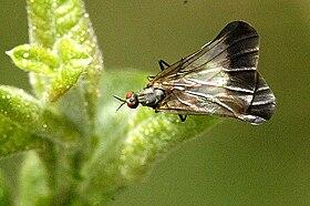 Rhamphomyia.marginata.female.jpg