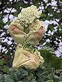 Rheum rhabarbarum (Rabarber) Frambozenrood bloeiwijze.jpg