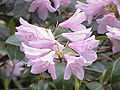 Rhododendron aechmophyllum0.jpg