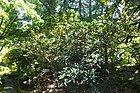 Rhododendron barbatum - VanDusen Botanical Garden - Vancouver, BC - DSC07177.jpg