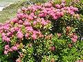 Rhododendron ferrugineum Pyrenees 6.jpg