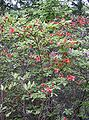 Rhododendron kaempferi2.jpg