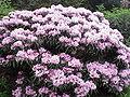 Rhododendron yakushimanum makinoi1.jpg
