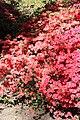 Rhododendronpark Bremen 20090513 245.JPG