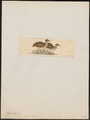 Rhynchotus perdicarius - 1820-1860 - Print - Iconographia Zoologica - Special Collections University of Amsterdam - UBA01 IZ18900245.tif