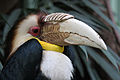 Rhyticeros undulatus -Artis Zoo, Netherlands -male-8a.jpg