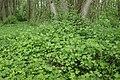 Ribes nigrum kz02.jpg