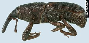 Maize weevil - Image: Rice weevil side view
