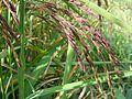 Riceberry DSC09614.jpg