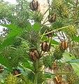 Ricinus communis (এৰা গছৰ গুটি).jpg