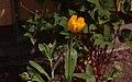 Ringblomma (Calendula officinalis) IMG 5563.jpg
