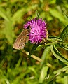 Ringlet Butterfly on a flower - geograph.org.uk - 490649.jpg