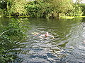 River Cam Swimming 4 Aug 08.jpg