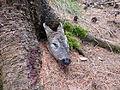 Roe deer head 2.JPG
