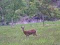 Roe deer near Innerpeffray Woods - geograph.org.uk - 830351.jpg
