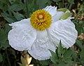 Romneya trichocalyx flower 2003-04-10.jpg