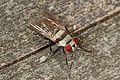Root Maggot Fly - Anthomyia species, Leesylvania State Park, Woodbridge, Virginiaopped.jpg