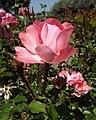 Rosa-passionatekisses.jpg